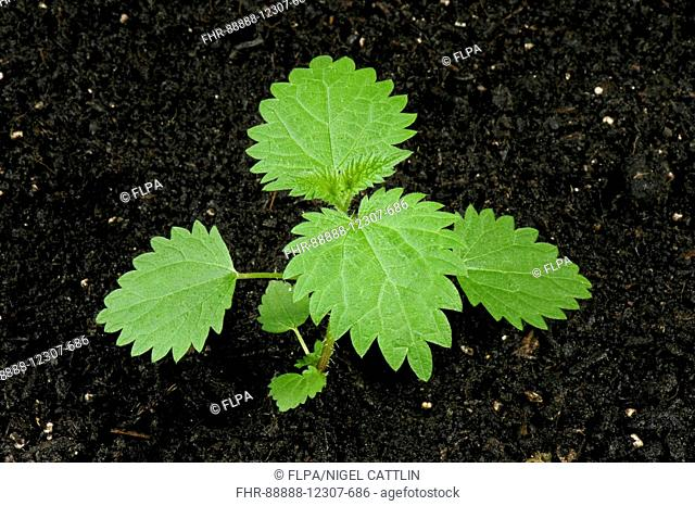 Seedling stinging nettle, Urtica dioica, perrennial stinging weed of gardens, wasteground and hedgerows with several true leaves