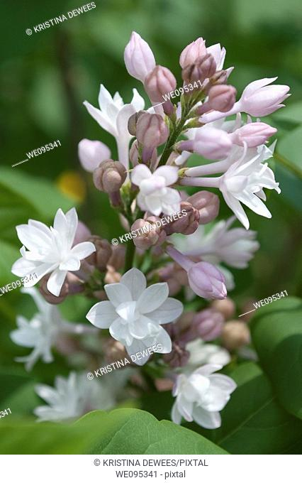 A pannicle of the lilac Beauty of Moscow