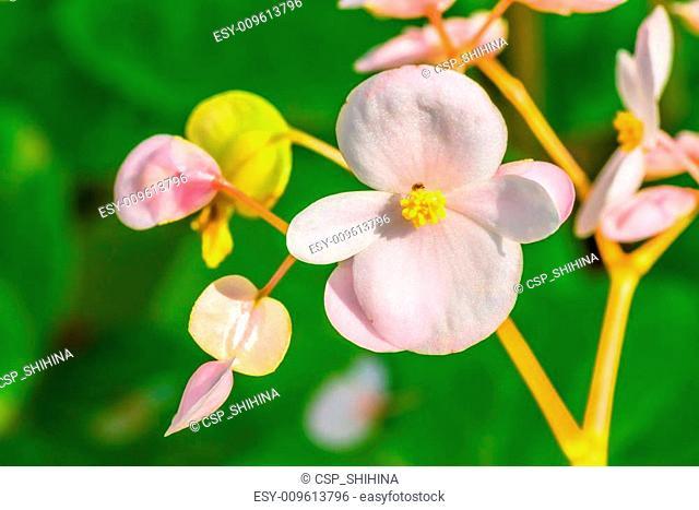 Begonia fenicia, Begoniaceae, Japan