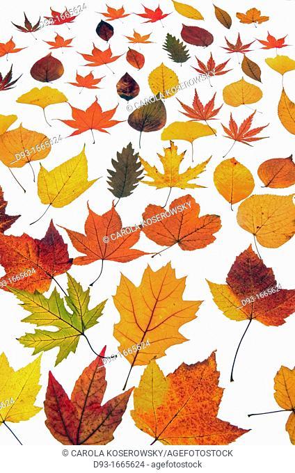 Beautyful autumnal Leaves