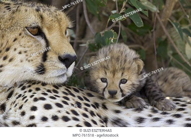 Cheetah Acinonyx jubatus, mother and seven day old cub, Maasai Mara Reserve, Kenya