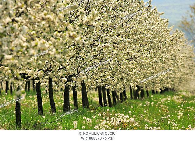 Orchard, Croatia, Slavonia, Europe