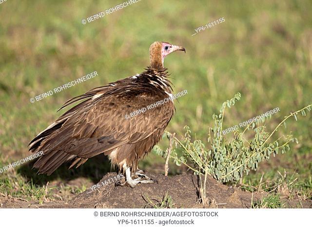 Hooded Vulture Necrosyrtes monachus sitting on ground, Serengeti National Park, Tanzania