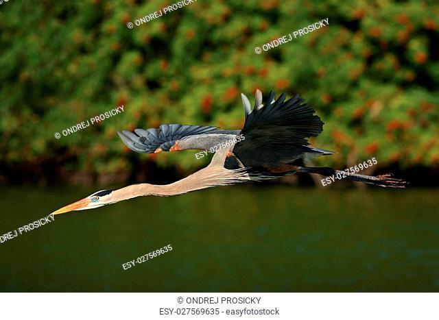 Water bird in flight. Flying heron in the green forest habitat
