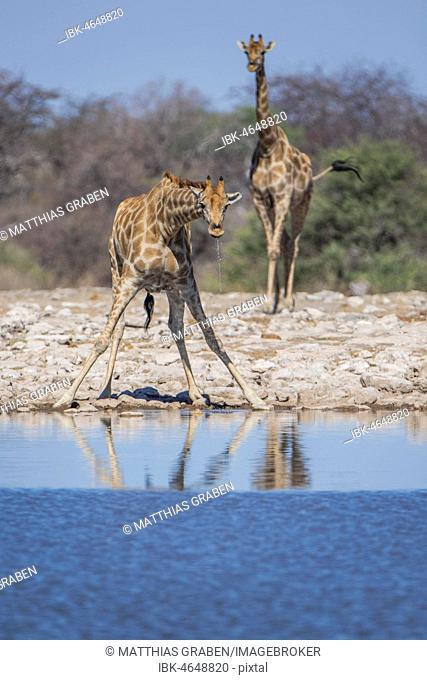 Two Giraffes (Giraffa camelopardalis) drinking at a waterhole, Etosha National Park, Namibia