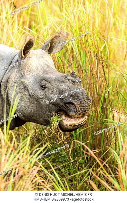 India, Assam, Kaziranga national park, listed as World Heritage by UNESCO, indian rhinoceros (Rhinoceros unicornis), close-up