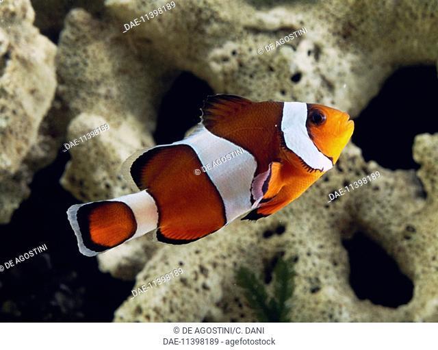 Ocellaris clownfish , False percula clownfish or Common clownfish (Amphiprion ocellaris), Pomacentridae, in aquarium