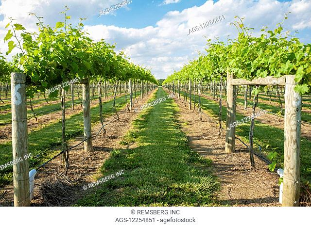 Vineyard in Dorchester county; Cambridge, Maryland, United States of America