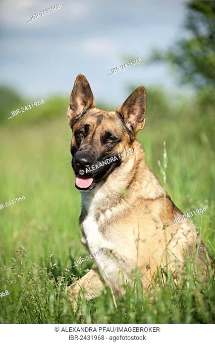 Malinois or Belgian Shepherd Dog, portrait