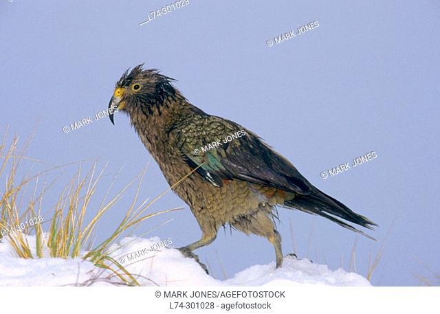 Kea Parrot (Nestor notabilis). Westland National Park. New Zeland