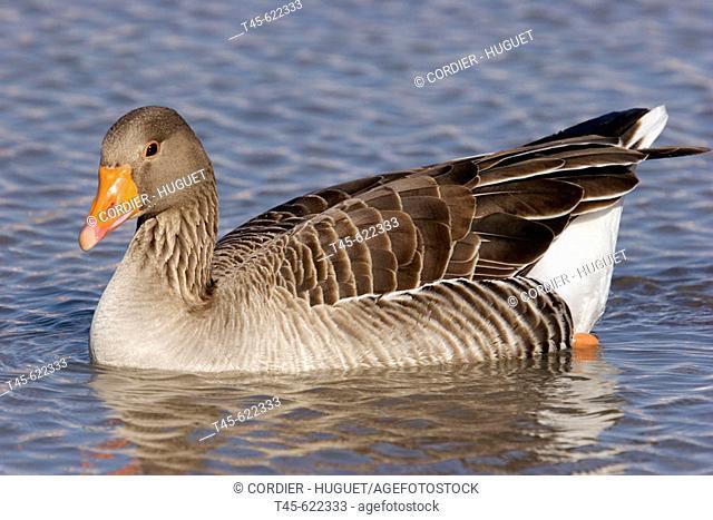 Greylag Goose. Anser anser. Saintes-Maries de la Mer. Camargue. France. February
