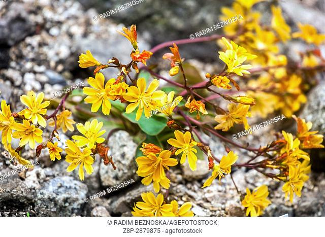 Lewisia cotyledon is a plant for dry alpine parts