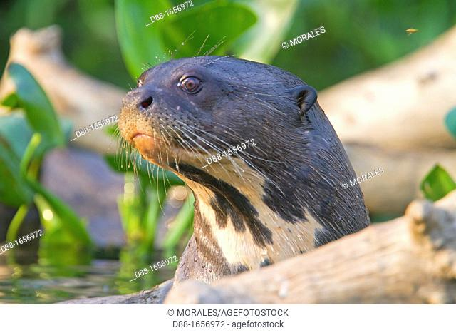 Brazil, Mato Grosso, Pantanal area, Giant Otter Pteronura brasiliensis