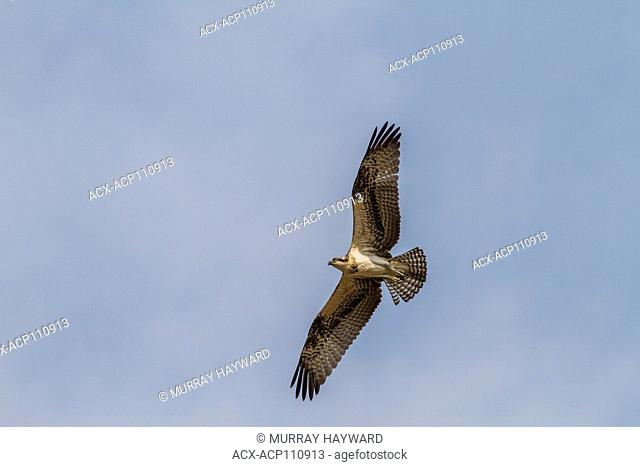 Osprey (Pandion haliaetus) Osprey, with wings fully spread, soaring against blue sky. Cranbrook, British, Columbia, Canada