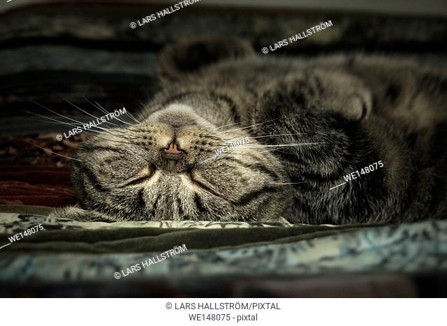 Close up of tired tabby cat lying down and resting at home. Sleeping pet taking a nap