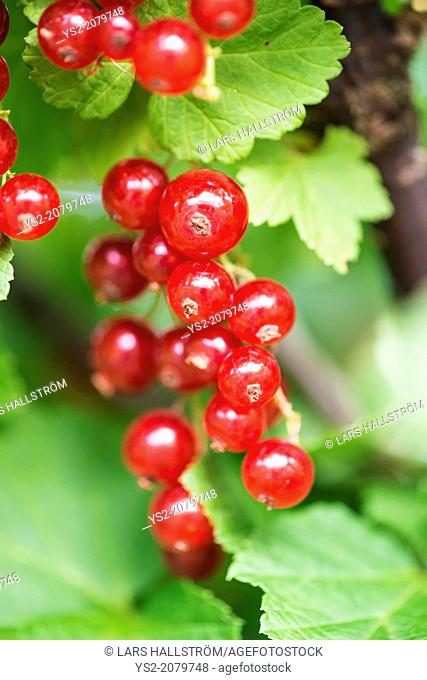 Red currants (Ribes rubrum) growing in a garden