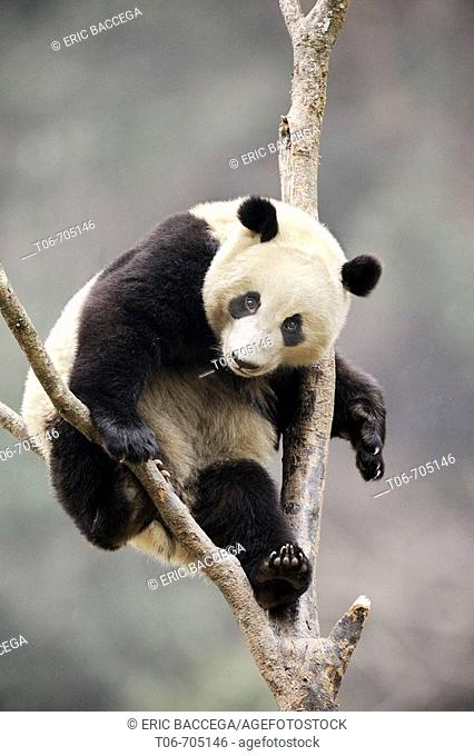 Subadult giant panda climbing in a tree (Ailuropoda melanoleuca) Wolong Nature Reserve, China