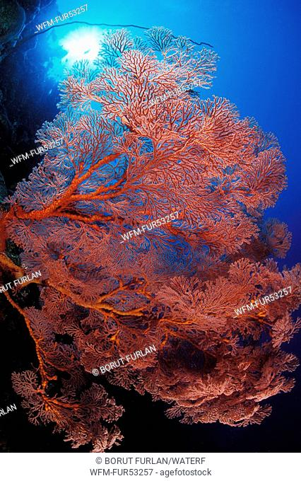 Red Giant Sea Fan, Melithaea sp., Bunaken Nationalpark, Sulawesi, Indonesia