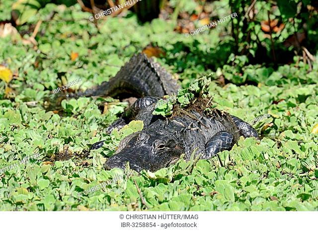 American Alligator (Alligator mississippiensis) surrounded by Water Cabbage or Water Lettuce (Pistia stratiotes)