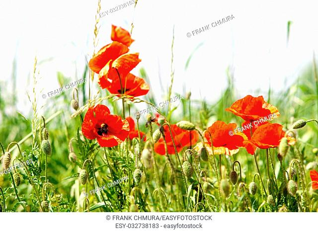 Czech Republic, Southern Bohemia - Red Poppies on the Meadow in Summer