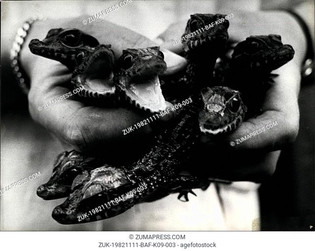 Nov. 11, 1982 - Rare cayman breeding success: Eight cayman babies this is very rare breeding success by Swiss breeder Hansjorg Luthi from Berne