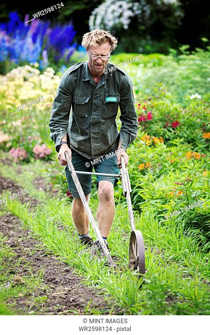 A man using a wheel hoe to hoe between rows of small flower plants in a garden