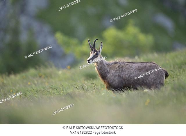 Chamois ( Rupicapra rupicapra ), adult, standing in high grass of a flowering alpine meadow, watching, in front of a nice background, Europe