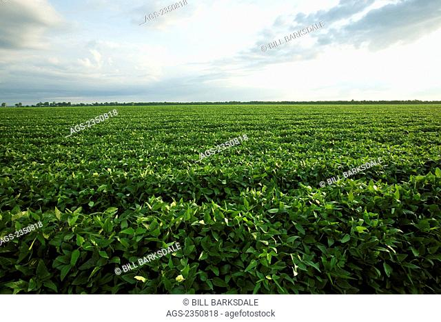 Agriculture - Large field of healthy mid growth soybeans in the pod setting stage / near England, Arkansas, USA