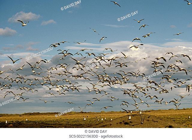 Mass of kelp gulls taking off Larus dominicanus and Larus modestus Rio Grande, Tierra del Fuego, Argentina