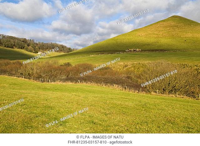 View of hilly rural landscape, with distant cattle herd in grassland habitat on coastal farmland, near Chapmans Pool, Dorset, England, january