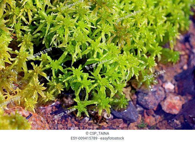 Sphagnum flexuosum moss by water