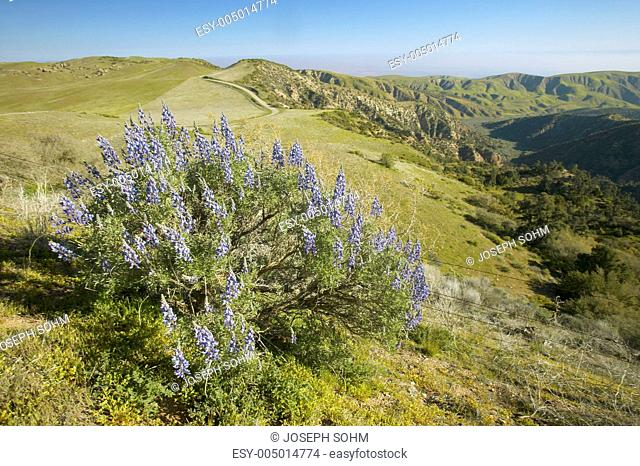 Purple lupine overlooking the Pine Mountain Club near Route 166 and Sierre Noeste Road in Kern County, CA