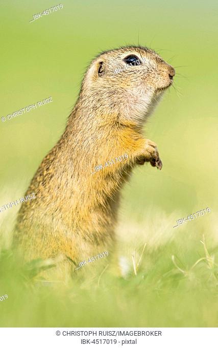 European ground squirrel (Spermophilus citellus) standing on its hindlegs, National Park Neusiedler See, Seewinkel, Burgenland, Austria