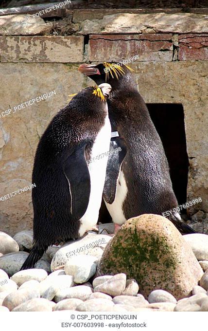 Macaroni Penguins - Eudyptes chrysolophus