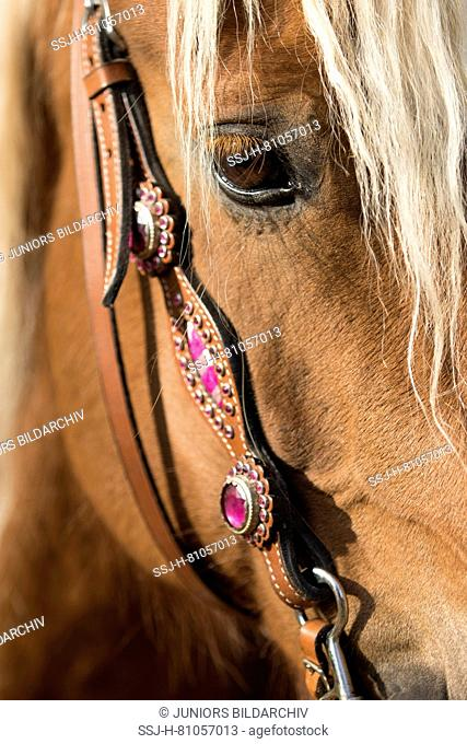 Close-up of a Welsh Cob horse wearing a pink western bridle. Netherlands