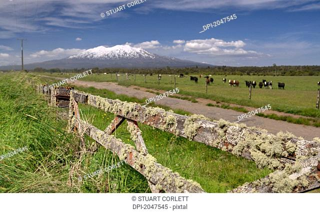 Cattle Grazing In A Field With Mount Ruapehu In The Background, Central North Island New Zealand