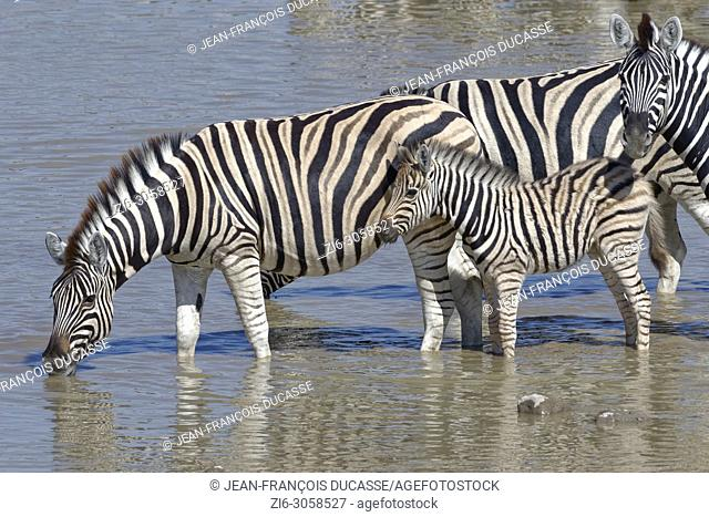 Three adult Burchell's zebras (Equus quagga burchellii) with zebra foal, standing in water, drinking, Okaukuejo waterhole, Etosha National Park, Namibia, Africa