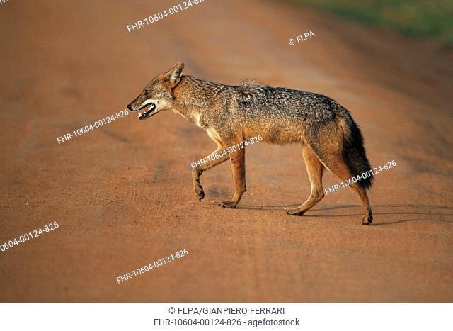 Golden Jackal (Canis aureus) adult, walking across dirt track in evening sunlight, Yala N.P., Sri Lanka, February