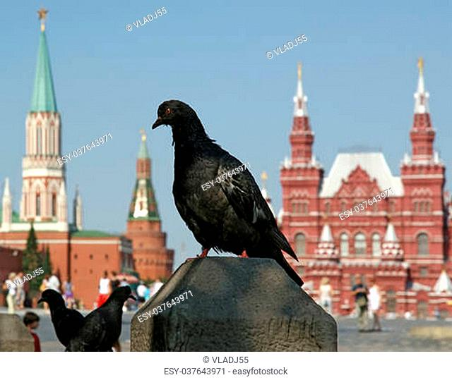Pigeons on the Red Square on a summer day, Moscow, Russia