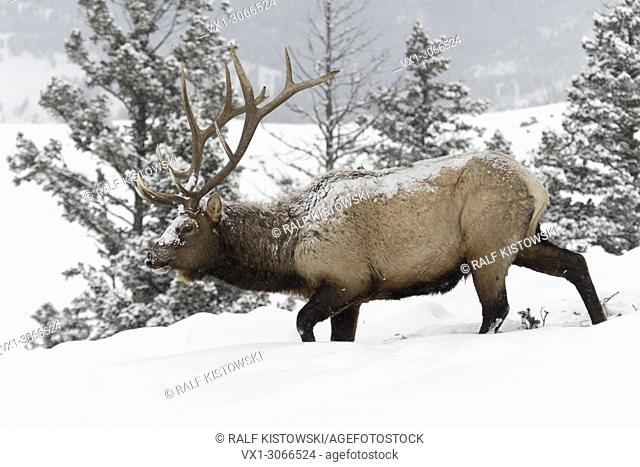 Elk ( Cervus canadensis ), bull in winter, walking through deep snow along the edge of a forest, covered with snow, Yellowstone NP, Wyoming, USA.
