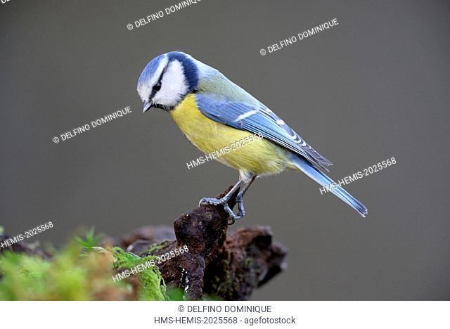 France, Doubs, Blue Tit (Cyanistes caeruleus) attached to a covered root foam