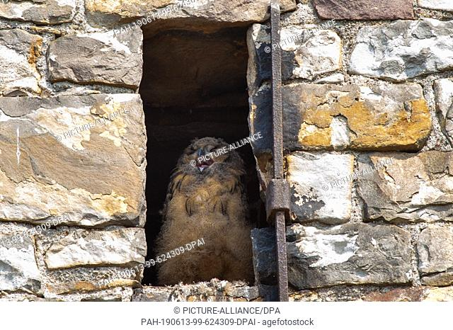 06 June 2019, Saxony-Anhalt, Hansestadt Havelberg: An eagle owl chick sits in a niche in the western structure of St. Mary's Cathedral in Havelberg