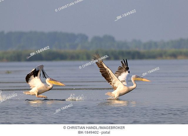 Great white pelicans (Pelecanus onocrotalus), Danube Delta, Murighiol, Romania, Europe