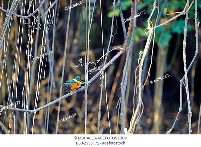 South America, Brazil, Mato Grosso, Pantanal area, American Pygmy Kingfisher Chloroceryle aenea