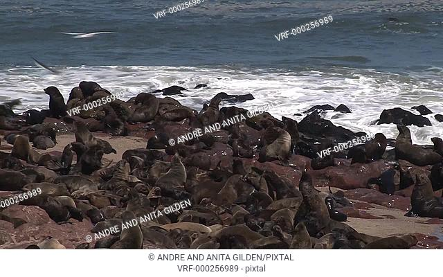 Cape Fur Seals (Arctocephalus pusillus) on rocky shoreline of Namibia