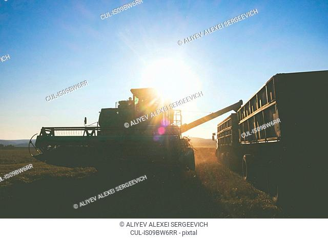 Field landscape of wheat field harvesting with combine harvester and trailer at sunset