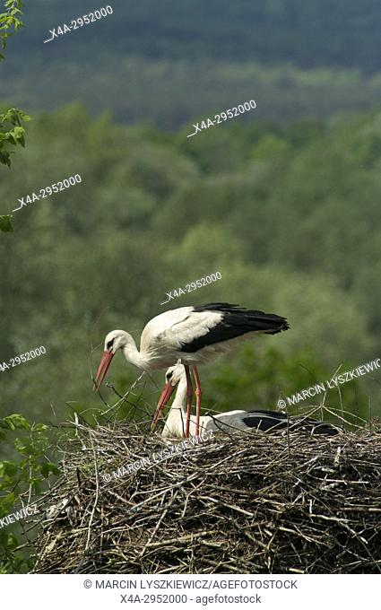 Storks in the Nest, Eastern Poland