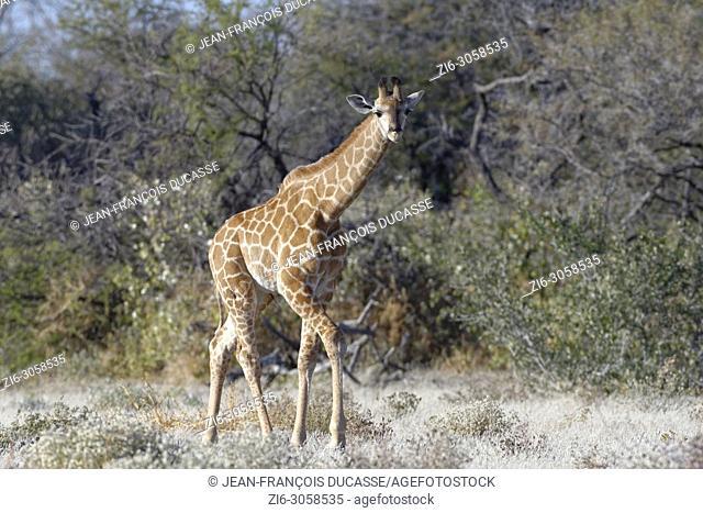Namibian giraffe or Angolan giraffe (Giraffa camelopardalis angolensis), young animal walking, curious, Etosha National Park, Namibia, Africa