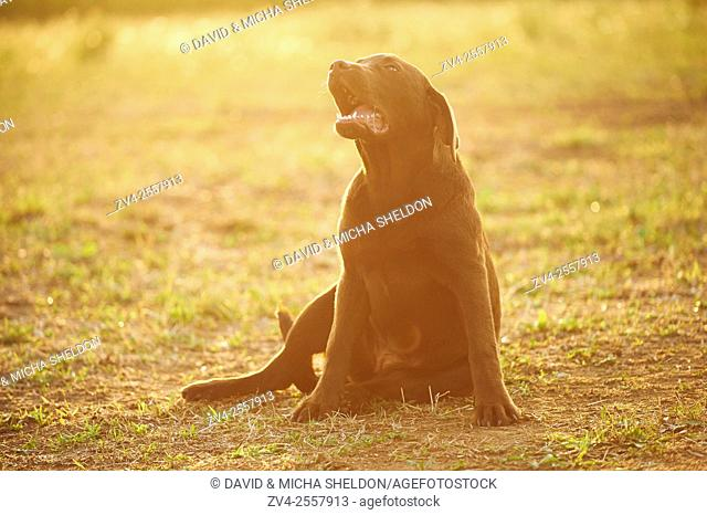 Close-up of a Labrador Retriever youngster on a meadow in late summer