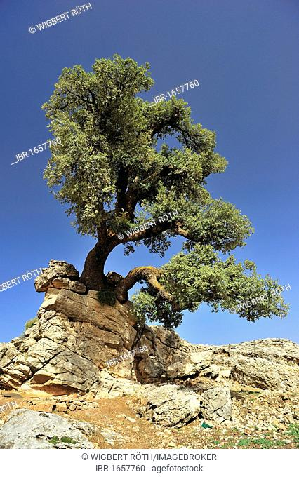 Holm Oak or Holly Oak (Quercus ilex) on rocky ground, Middle Atlas Mountains, Morocco, Africa